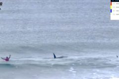 Killer whales invite themselves into the middle of a surfing competition